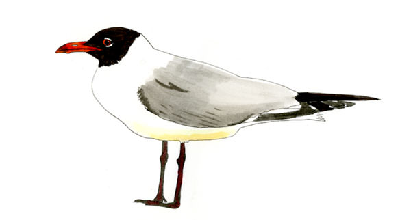 Laughing Gull Bird Sketch