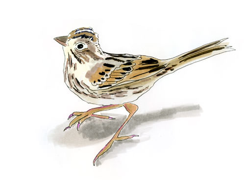 Lincoln's Sparrow Bird Sketch