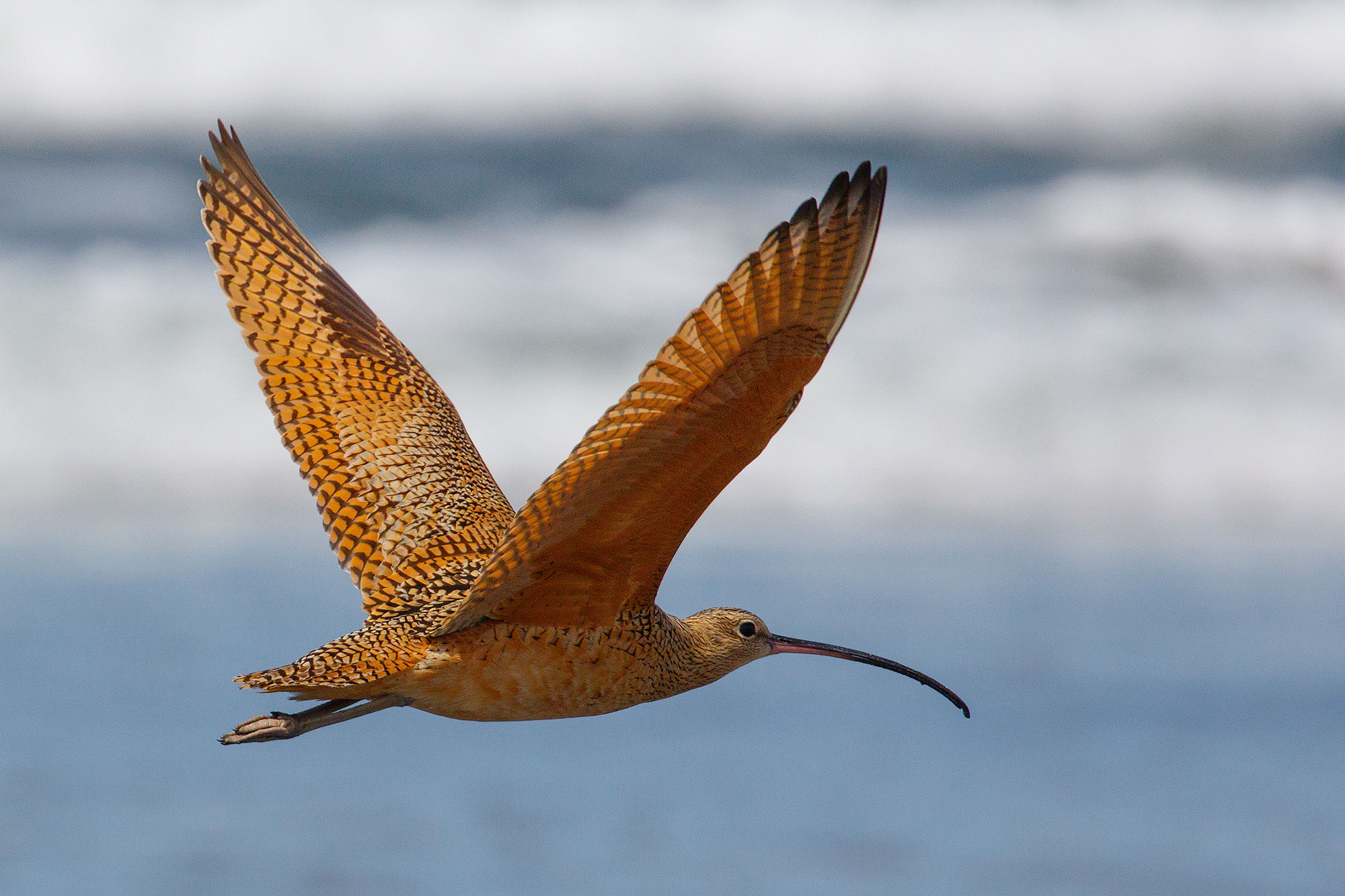 Long-billed Curlew on the Oregon Coast