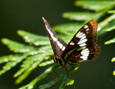 Lorquin's Admiral Butterfly