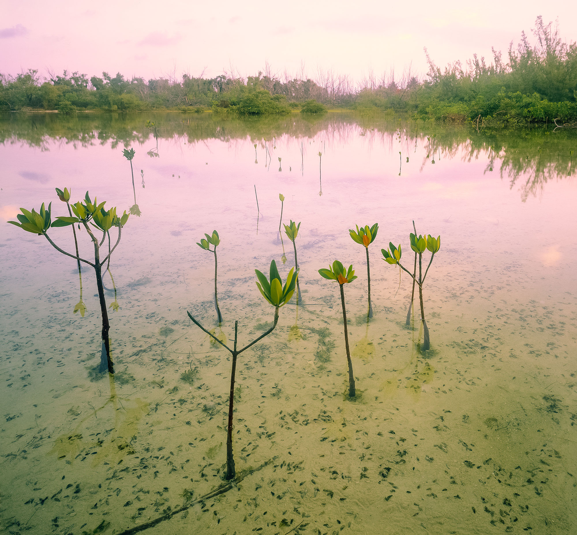 Mangroves in the Abacos are under threat by developments like Bakers Bay and Treasure Sands.