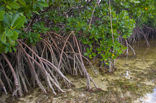 Mangroves Lost
