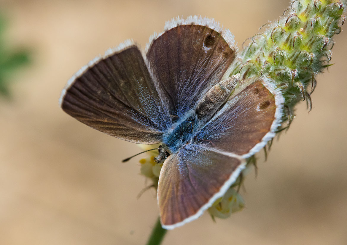Marine Blue Butterfly