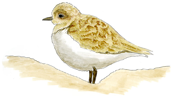 Mountain Plover Sketch