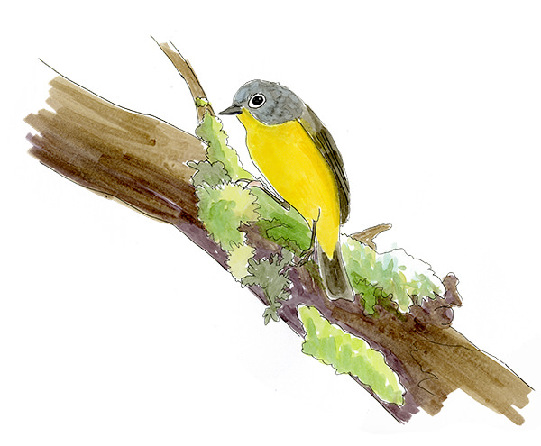 A sketch of a Nashville Warbler in the Willamette Valley, Oregon.