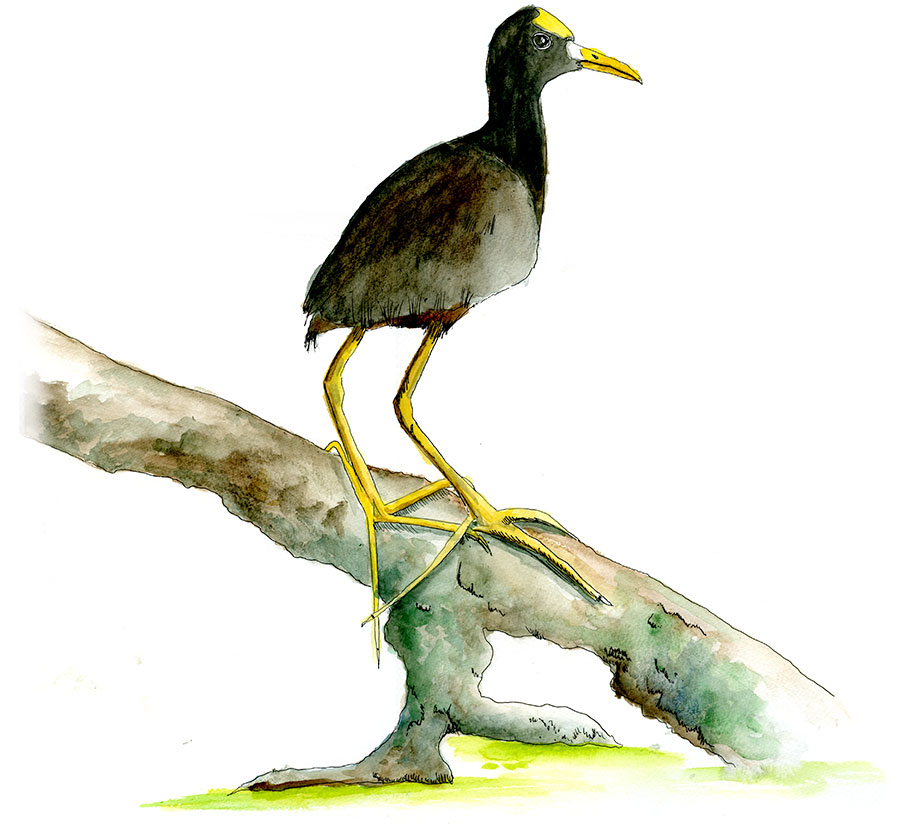 Northern Jacana in watercolor.