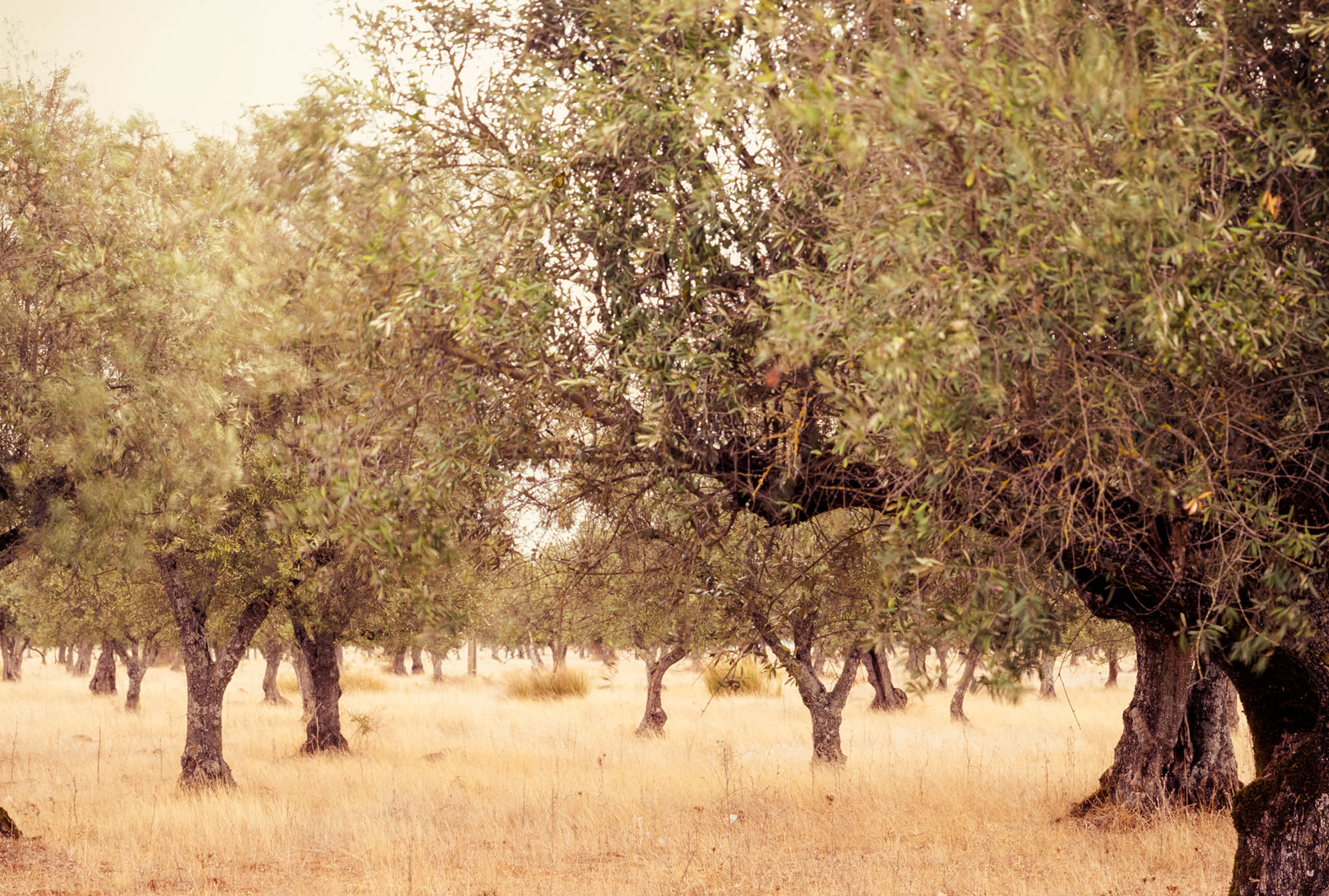 Olive groves in Portugal, near the border of Spain.