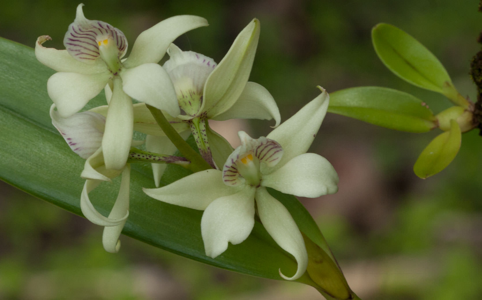 Orchid in San Blas Islands