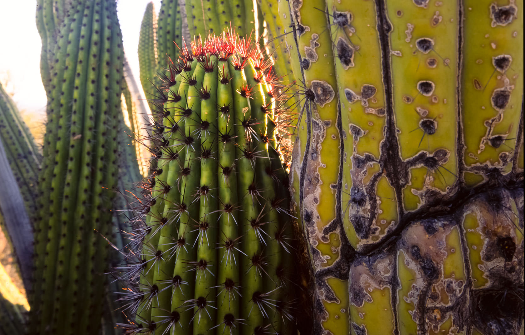 Organpipe Cactus Photo