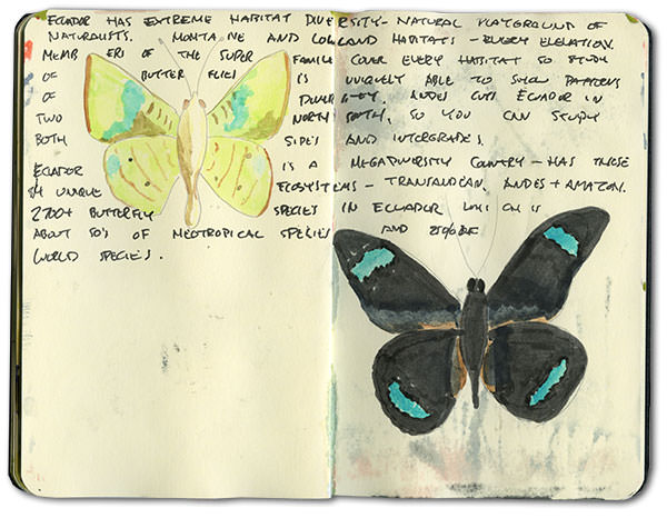 Amazon Butterflies Sketch