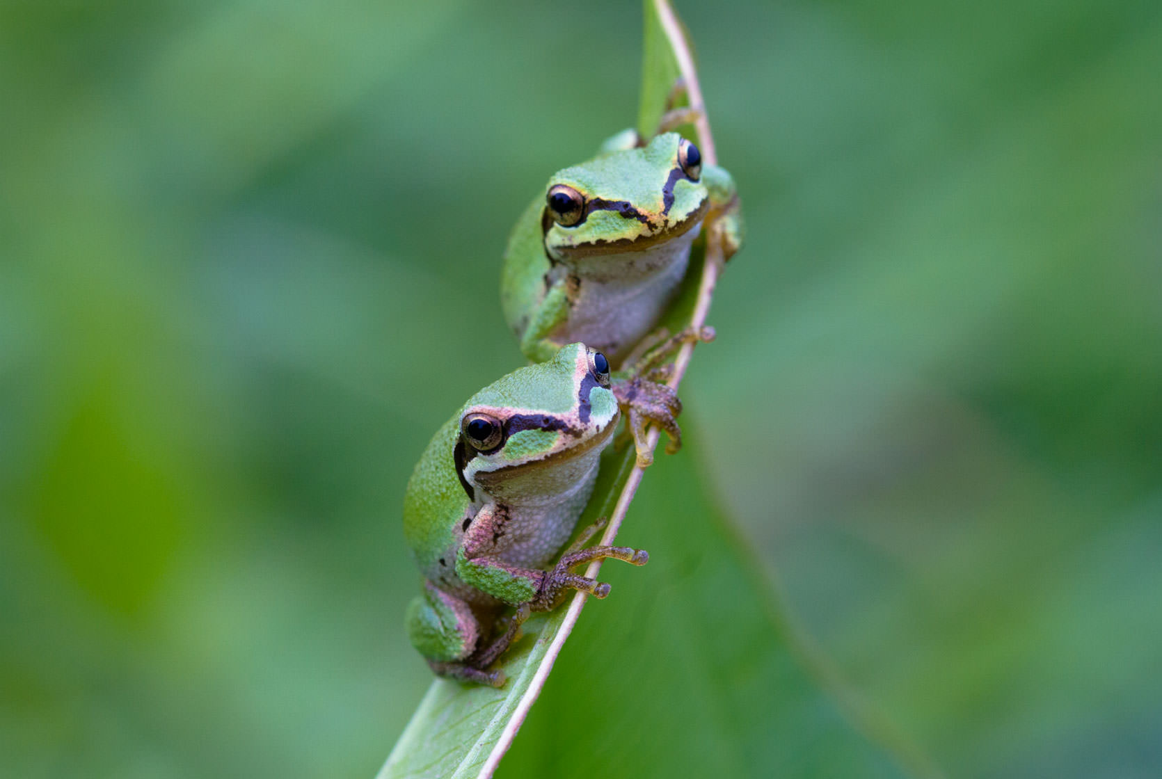 Pacific Chorus Frogs photographed near Portland, Oregon.