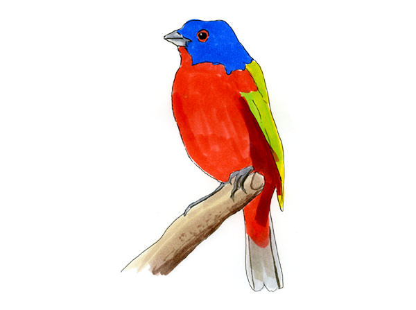 Painted Bunting Bird sketch in copic marker.