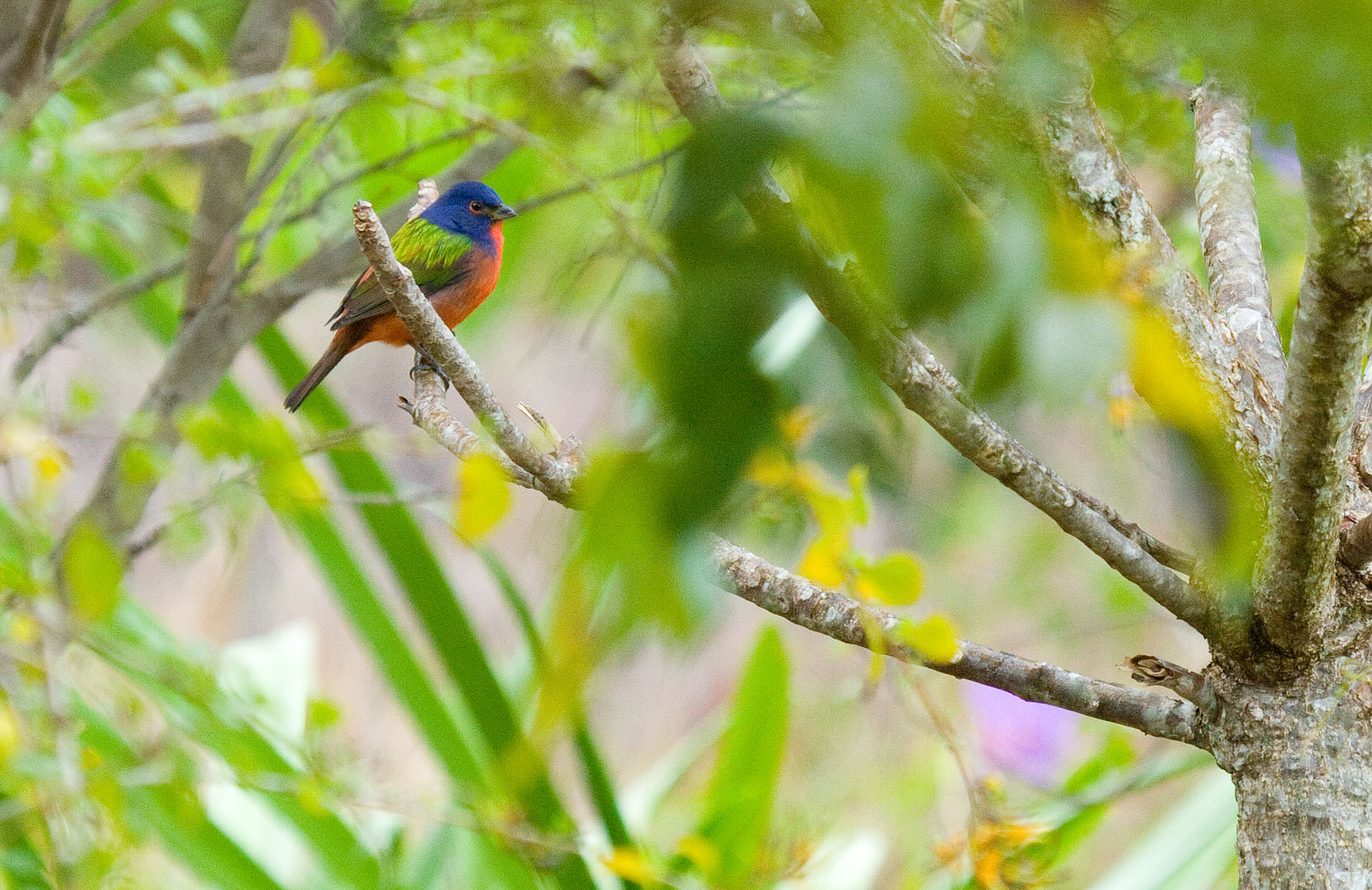 Painted Bunting in the Abaco Islands