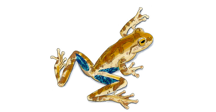 Panama Cross-banded Tree Frog