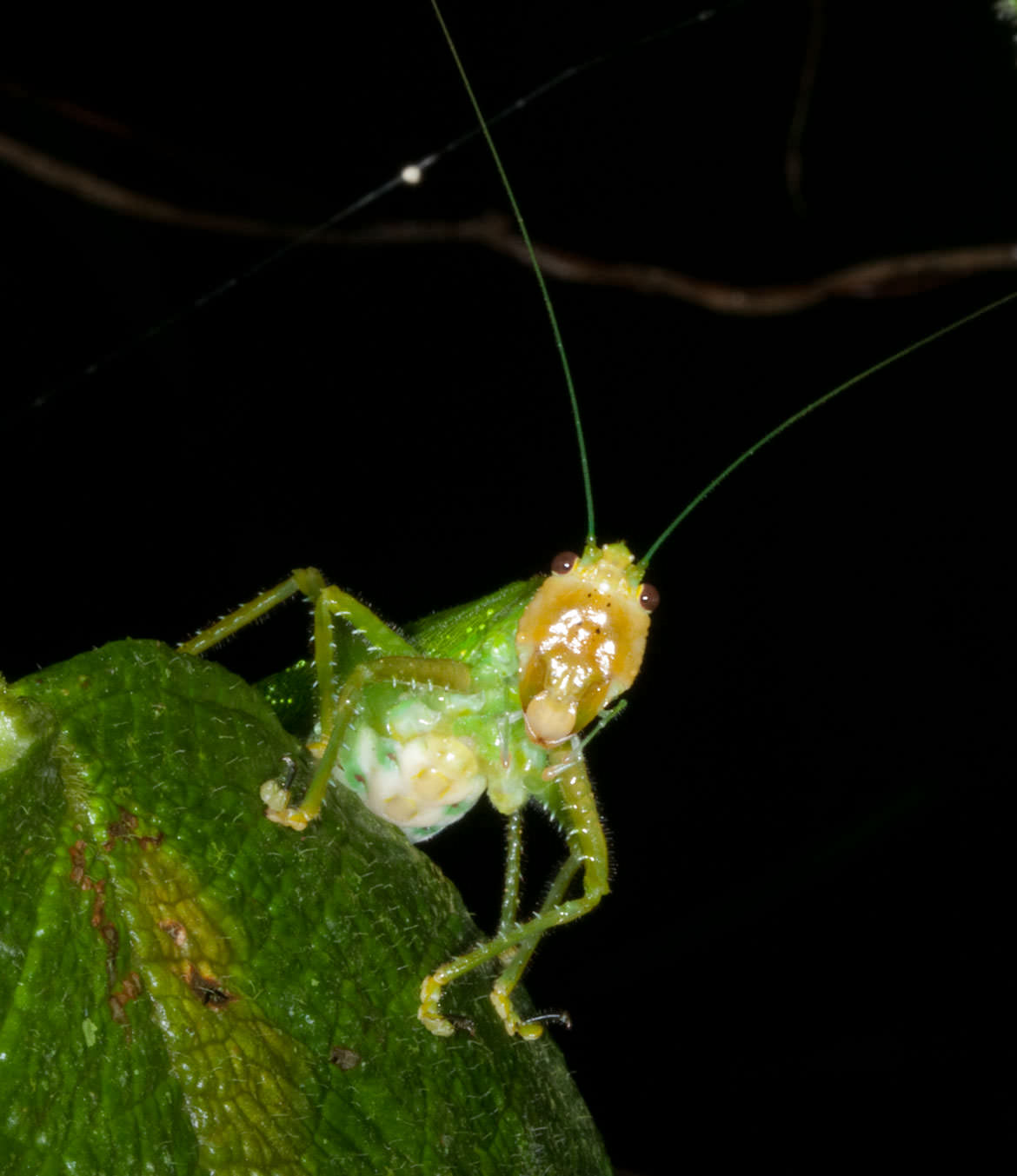 Katydid devours in the night