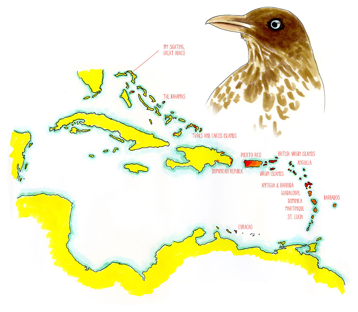 Pearly-eyed Thrasher in the Abaco Islands