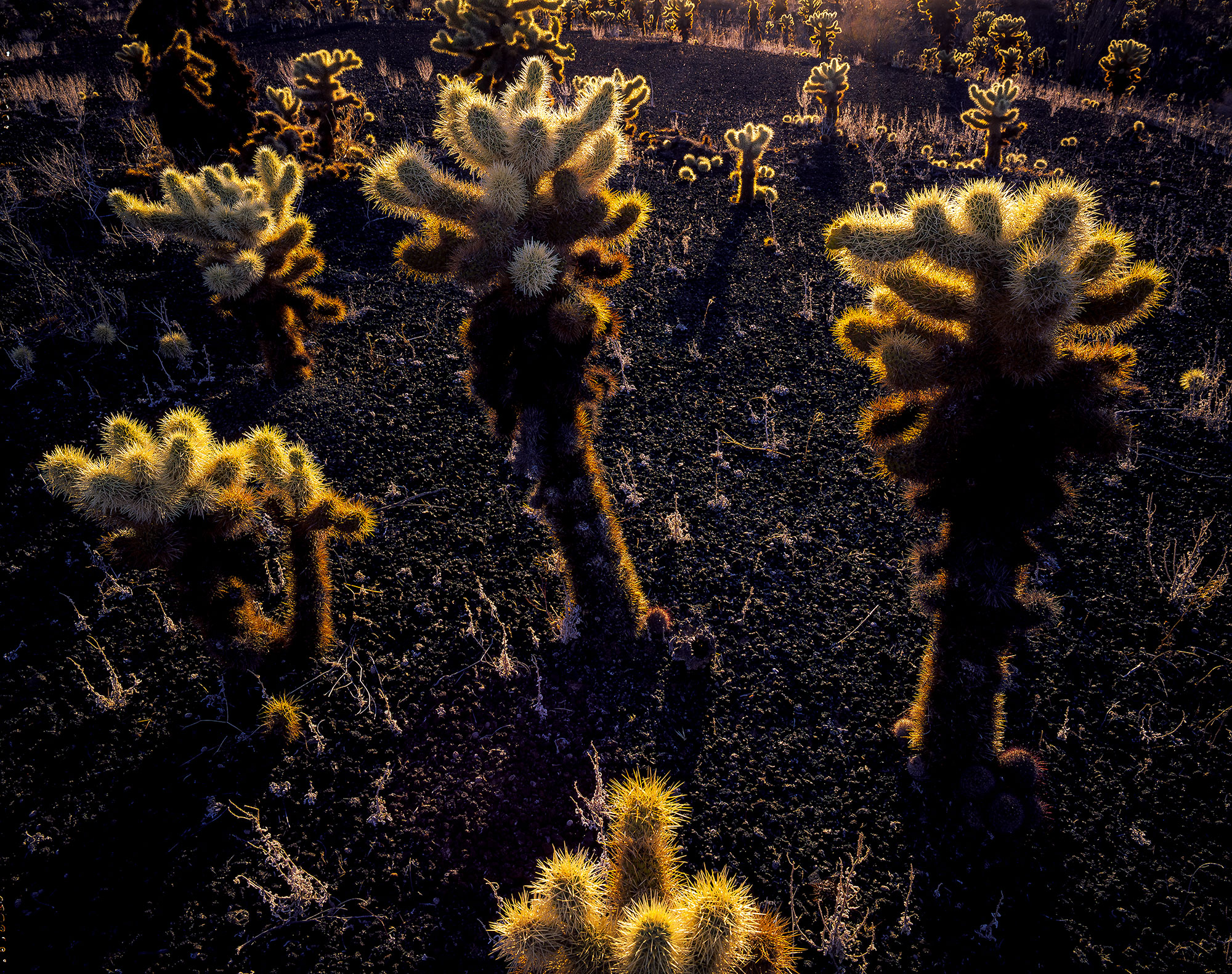 Teddy Bear Cactus in the Pinacate Desert