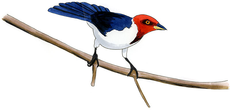 Red-capped Cardinal Drawing