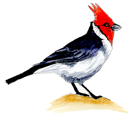 Red-crested Cardinal Sketch