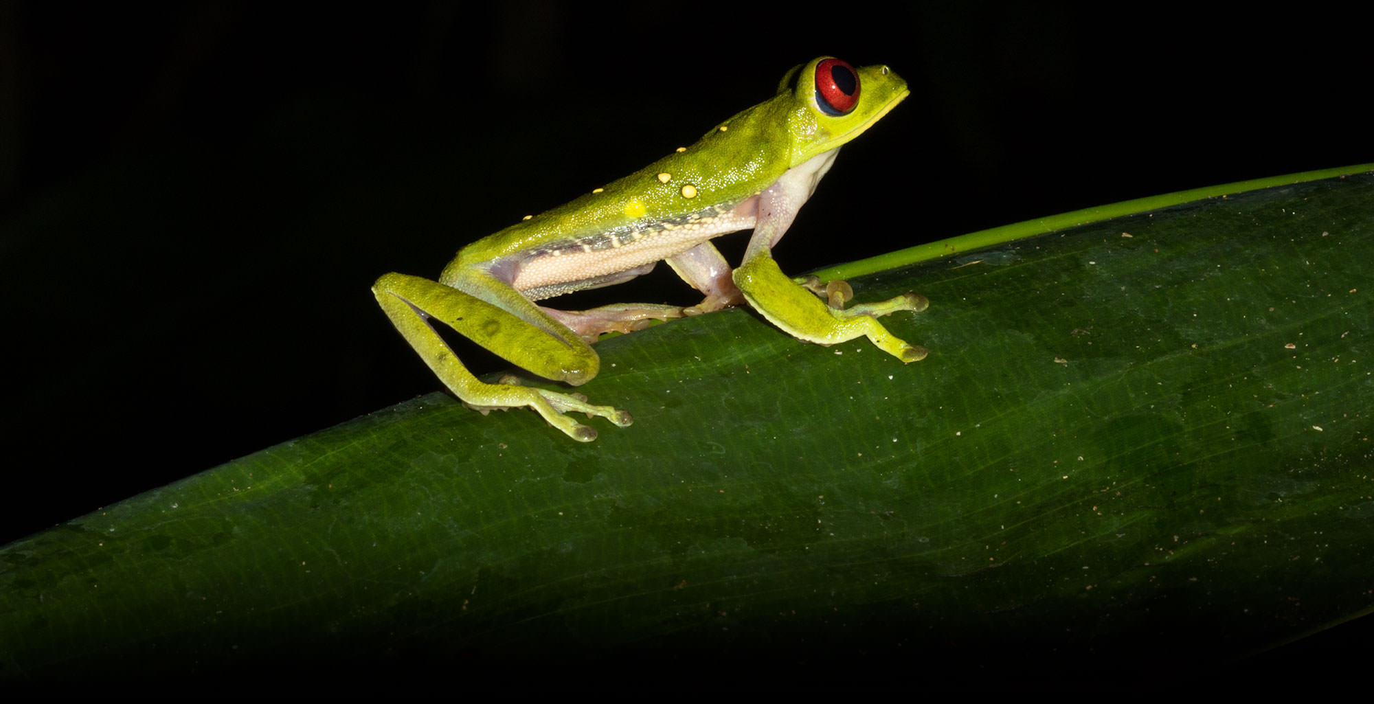 Red-eyed Leaf Frog in Costa Rica