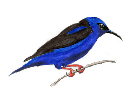 Red-legged Honeycreeper Sketch