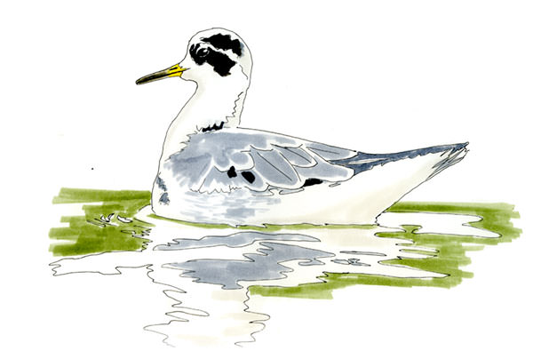 Red Phalarope Bird Drawing