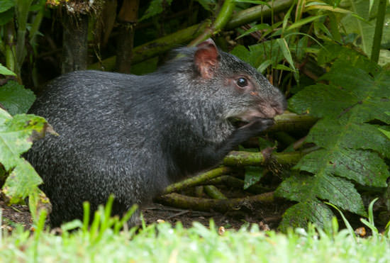 Red-eared Agouti