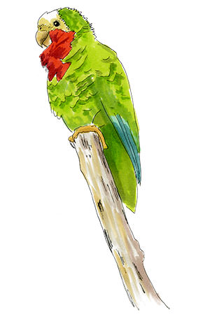Sketch of a Rose-throated Parrot (Cuban Amazon)