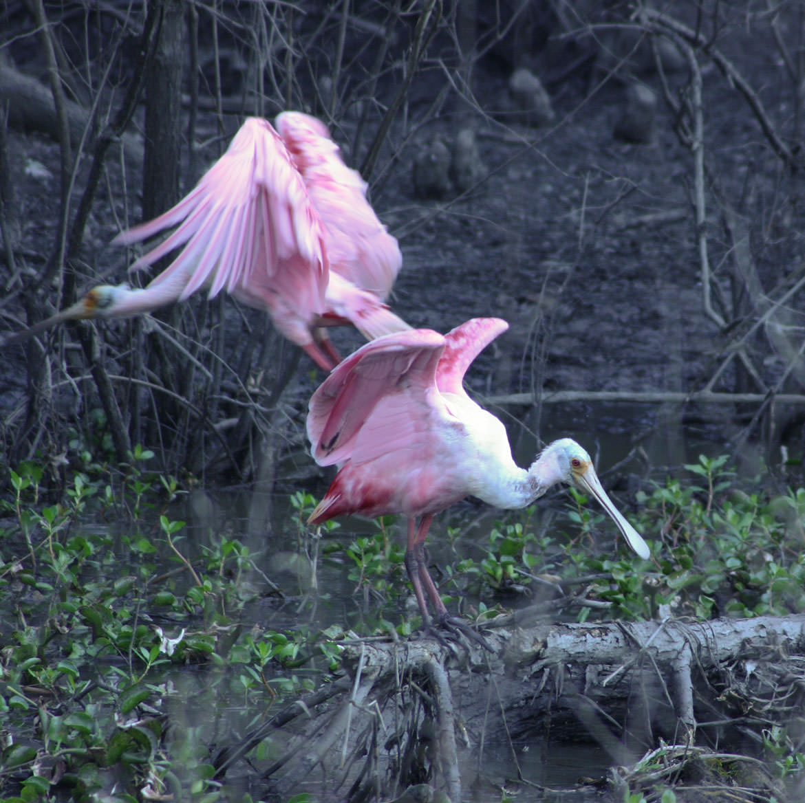 Roseate Spoonbills in Louisiana bayou country.