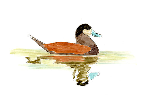 Ruddy Duck Sketch, sketched at Tualatin National Wildlife Refuge, Oregon