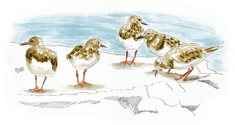 Ruddy Turnstones on the shore of the Abaco Islands