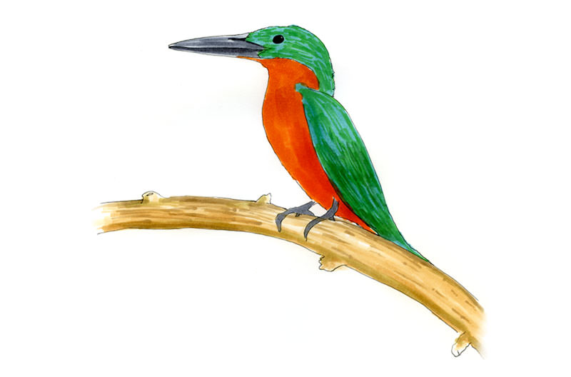 Rufous and Green Kingfisher