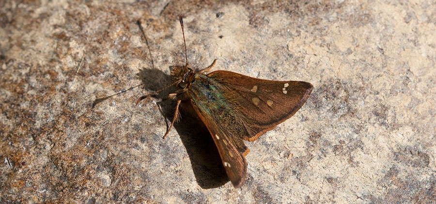 Skipper from the Andes of Ecuador