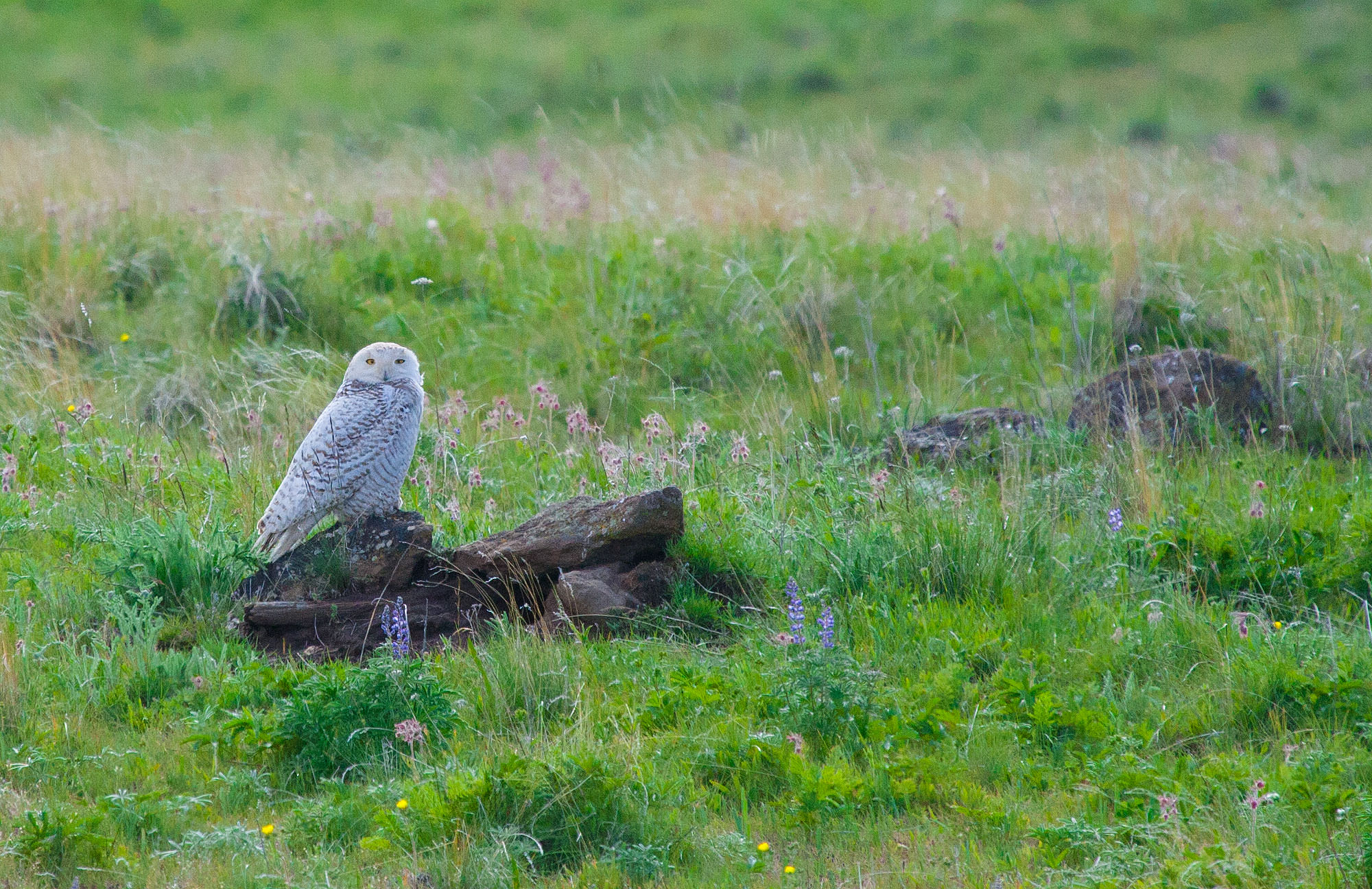 Snowy Owl on the Zumwalt Prairie