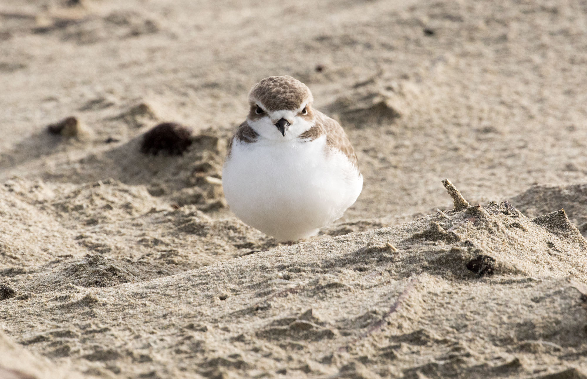 Snowy Plover on the Bandon to Port Orford Trail.