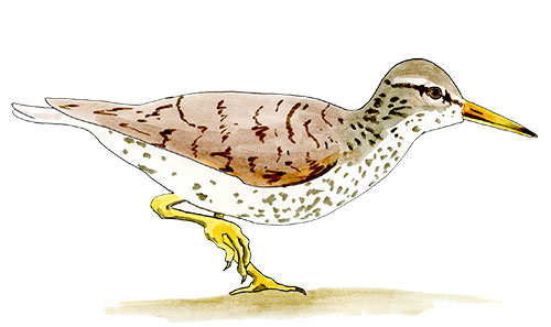 Spotted Sandpiper Sketch