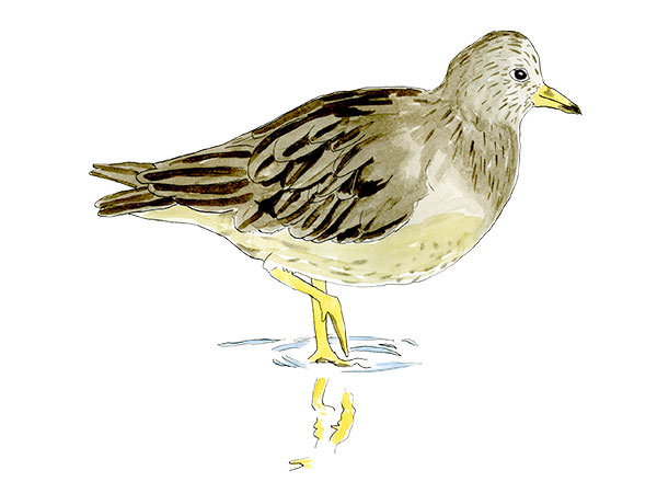 Surfbird Sketch