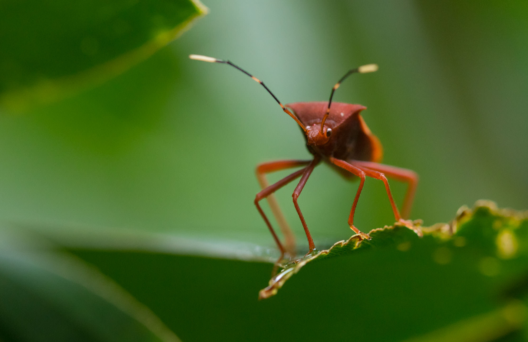 Coreidae Leaf-footed Bug at the Tambopata Research Center