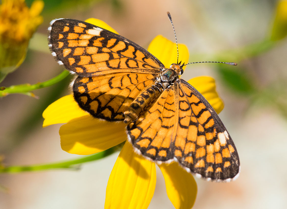 Tiny Checkerspot Butterfly