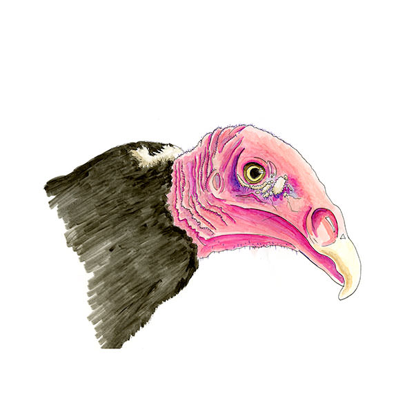 Sketch of a Turkey Vulture from Crown Point, Abaco, Bahamas
