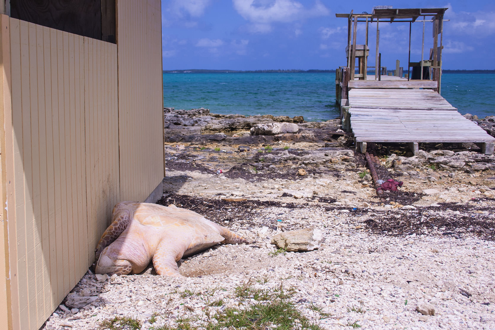 Green Turtle slaughtered for its meat and shell in Abaco.