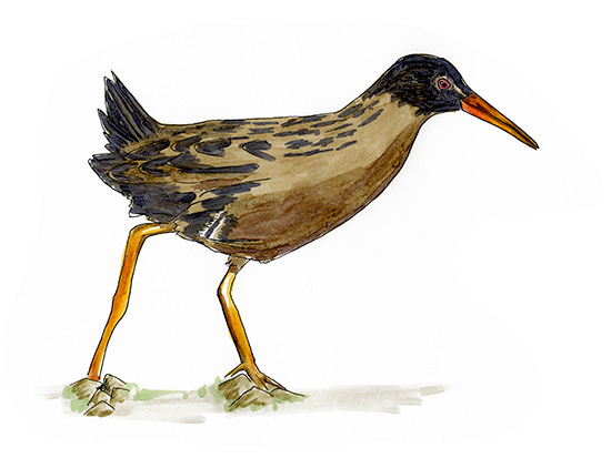 Sketch of a Virginia Rail at Ridgefield National Wildlife Refuge, Washington.