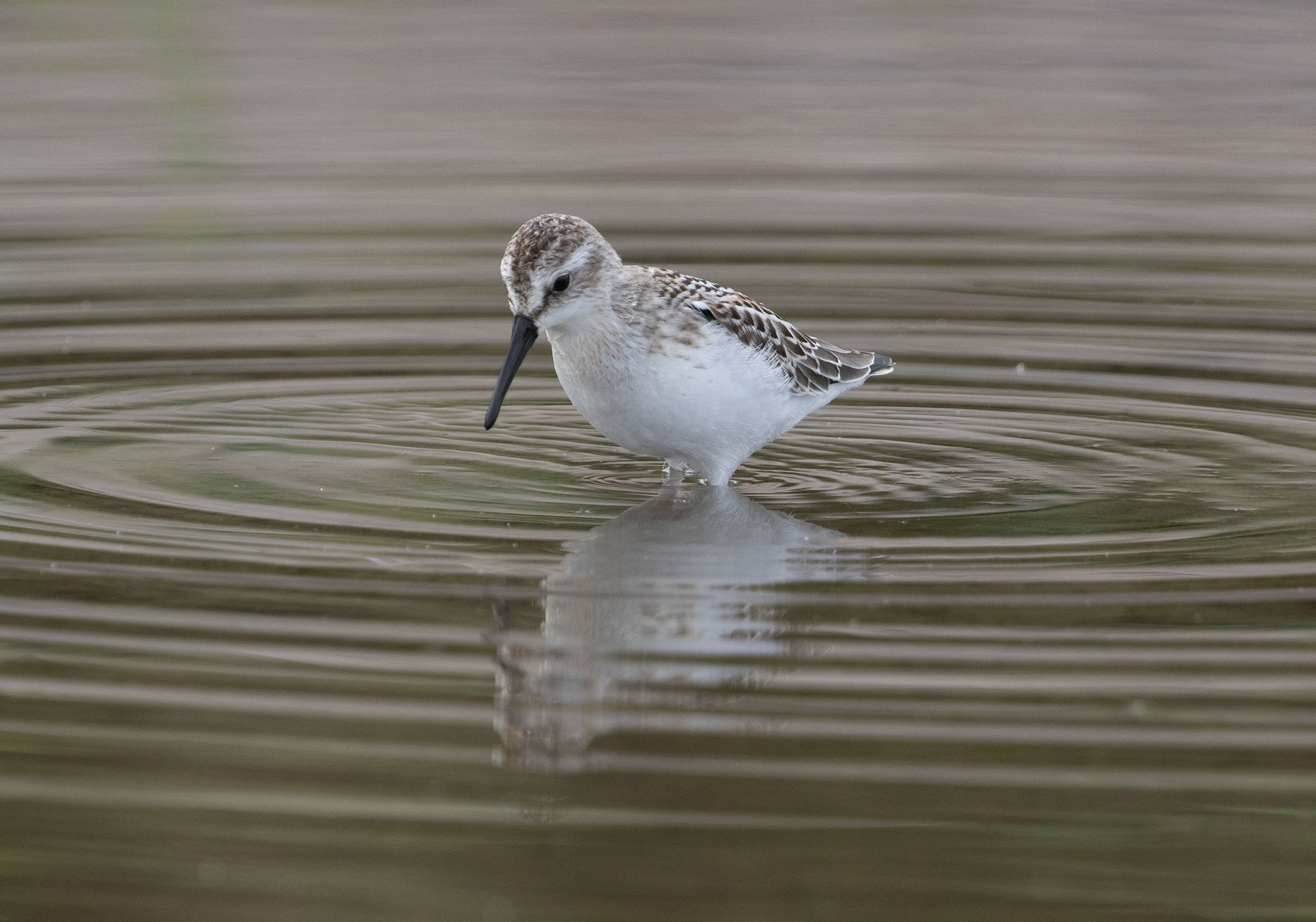 Western Sandpiper, Shi Shi Beach, Washington