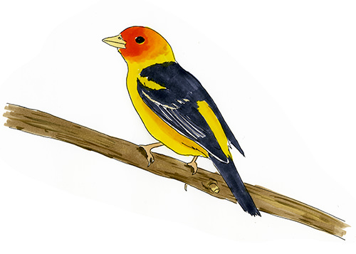 A sketch of a young male Western Tanager at Zion National Park in Utah.