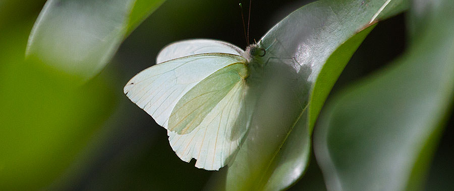 Great Southern White Butterfly, Bahamas