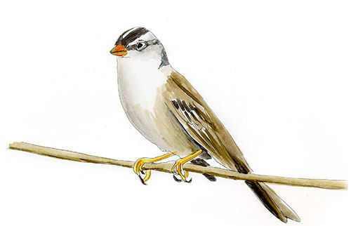 White-crowned Sparrow Sketch