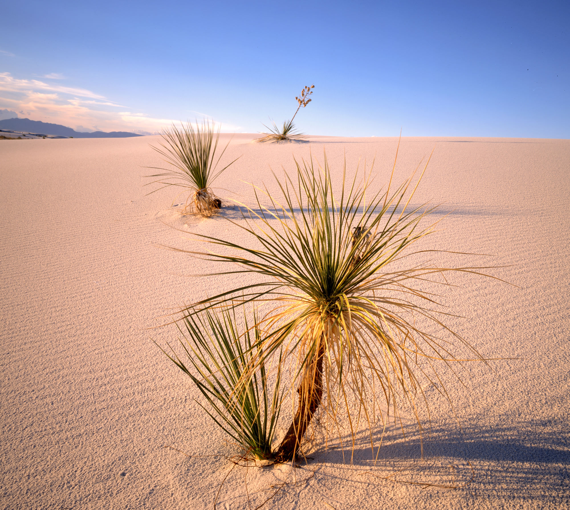 Yucca in White Sands, New Mexico