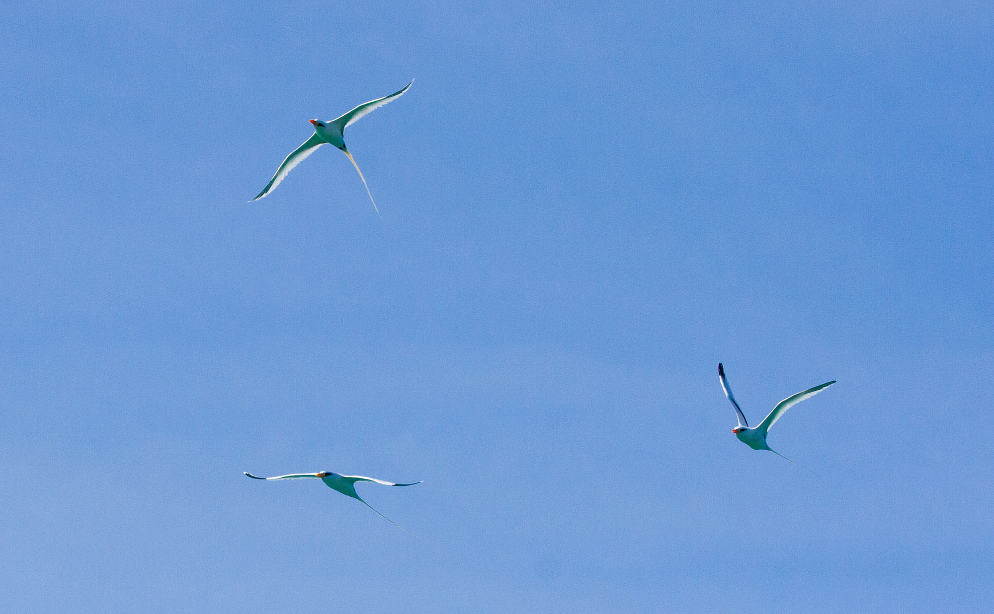 White-tailed Tropicbirds flying near their nesting grounds in Southern Abaco.