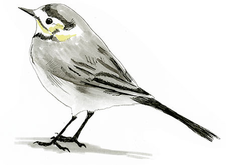 White Wagtail Bird drawn in Germany