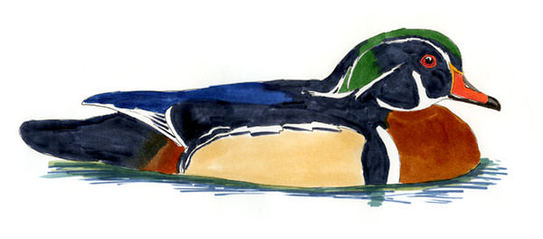 Wood Duck Sketch